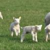 Slip fårene løs!