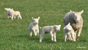 Slip fårene løs